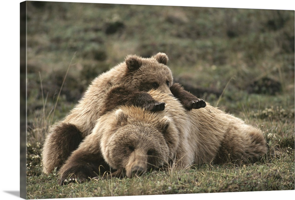 Large Gallery-Wrapped Canvas Wall Art Print 24 x 16 entitled A grizzly mother and her cub lounge together in a field Gallery-Wrapped Canvas entitled A grizzly mother and her cub lounge together in a field.  A grizzly mother and her cub lounge together in a field.  Multiple sizes available.  Primary colors within this image include Dark Forest Green.  Made in the USA.  Satisfaction guaranteed.  Archival-quality UV-resistant inks.  Canvas frames are built with farmed or reclaimed domestic pine or poplar wood.  Canvas is a 65 polyester 35 cotton base with two acrylic latex primer basecoats and a semi-gloss inkjet receptive topcoat.