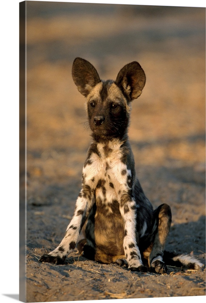 Large Gallery-Wrapped Canvas Wall Art Print 16 x 24 entitled A Hyena pup sits up alert looking for its mother, Okavango De... Gallery-Wrapped Canvas entitled A Hyena pup sits up alert looking for its mother Okavango Delta Botswana Africa.  This large vertical piece is of a small hyena sitting up and alert staring intently at an object that is out of view.  Multiple sizes available.  Primary colors within this image include Peach Black Dark Forest Green.  Made in the USA.  Satisfaction guaranteed.  Inks used are latex-based and designed to last.  Museum-quality artist-grade canvas mounted on sturdy wooden stretcher bars 1.5 thick.  Comes ready to hang.  Canvas is designed to prevent fading.