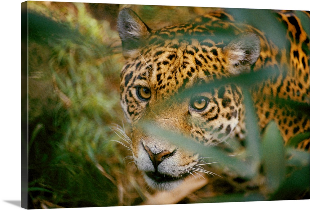 Large Gallery-Wrapped Canvas Wall Art Print 24 x 16 entitled A Jaguar, peers through leaves at the camera, Pantanal Swamps... Gallery-Wrapped Canvas entitled A Jaguar peers through leaves at the camera Pantanal Swamps Brazil.  From the National Geographic Collection.  Photograph of a wildcat looking through grass.  Multiple sizes available.  Primary colors within this image include Gray Dark Forest Green.  Made in USA.  All products come with a 365 day workmanship guarantee.  Inks used are latex-based and designed to last.  Canvas is a 65 polyester 35 cotton base with two acrylic latex primer basecoats and a semi-gloss inkjet receptive topcoat.  Canvas is acid-free and 20 millimeters thick.