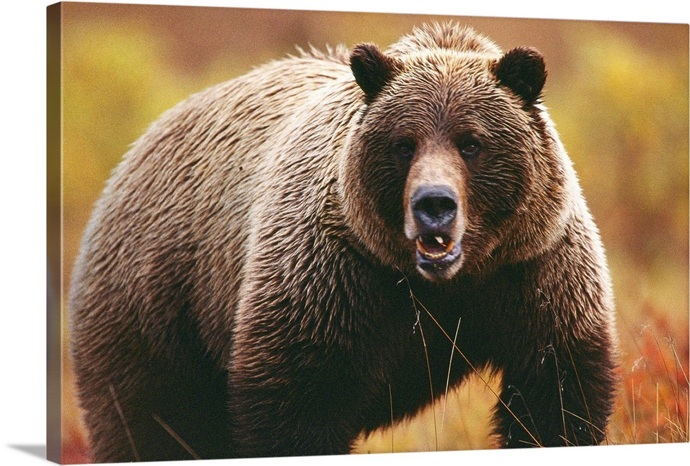 Large Gallery-Wrapped Canvas Wall Art Print 24 x 16 entitled A large adult grizzly bear faces the camera Gallery-Wrapped Canvas entitled A large adult grizzly bear faces the camera.  A large adult grizzly bear faces the camera.  Multiple sizes available.  Primary colors within this image include Dark Gray Gray Silver.  Made in USA.  All products come with a 365 day workmanship guarantee.  Archival-quality UV-resistant inks.  Canvases have a UVB protection built in to protect against fading and moisture and are designed to last for over 100 years.  Museum-quality artist-grade canvas mounted on sturdy wooden stretcher bars 1.5 thick.  Comes ready to hang.