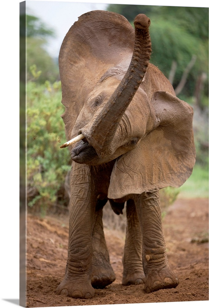 Large Gallery-Wrapped Canvas Wall Art Print 16 x 24 entitled A lost baby elephant calling for its mother, Samburu National... Gallery-Wrapped Canvas entitled A lost baby elephant calling for its mother Samburu National Reserve Kenya.  Vertical photograph of a baby elephant turning its head and raising its truck.  Multiple sizes available.  Primary colors within this image include Black Gray Silver.  Made in the USA.  Satisfaction guaranteed.  Inks used are latex-based and designed to last.  Canvas is a 65 polyester 35 cotton base with two acrylic latex primer basecoats and a semi-gloss inkjet receptive topcoat.  Canvases have a UVB protection built in to protect against fading and moisture and are designed to last for over 100 years.