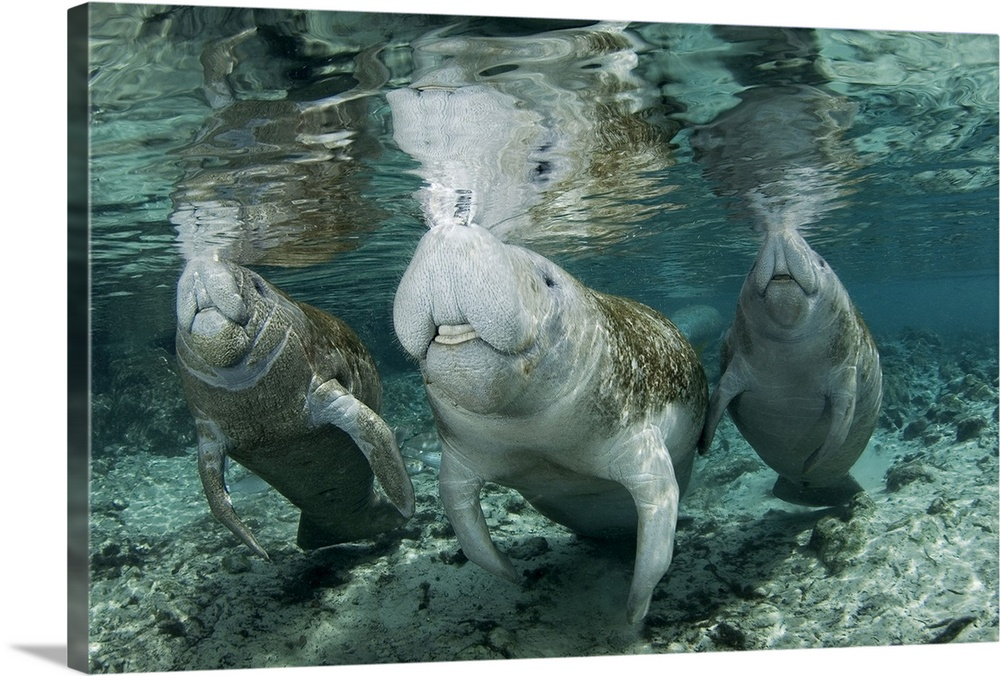 Large Gallery-Wrapped Canvas Wall Art Print 24 x 16 entitled A Manatee Family, mother and two calves, possibly twins, come... Gallery-Wrapped Canvas entitled A Manatee Family mother and two calves possibly twins come up for air.  A Manatee Family mother and two calves possibly twins come up for air.  Multiple sizes available.  Primary colors within this image include Silver Dark Forest Green.  Made in USA.  Satisfaction guaranteed.  Archival-quality UV-resistant inks.  Museum-quality artist-grade canvas mounted on sturdy wooden stretcher bars 1.5 thick.  Comes ready to hang.  Canvas is acid-free and 20 millimeters thick.