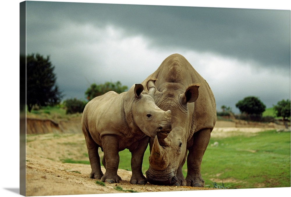 Large Gallery-Wrapped Canvas Wall Art Print 24 x 16 entitled A mother and baby rhinoceros at the San Diego Wild Animal Par... Gallery-Wrapped Canvas entitled A mother and baby rhinoceros at the San Diego Wild Animal Park California.  Canvas print of an baby rhino nuzzling a mother rhino in the middle of a zoo.  Multiple sizes available.  Primary colors within this image include Dark Yellow Black Light Gray.  Made in the USA.  Satisfaction guaranteed.  Inks used are latex-based and designed to last.  Canvases have a UVB protection built in to protect against fading and moisture and are designed to last for over 100 years.  Canvas is acid-free and 20 millimeters thick.