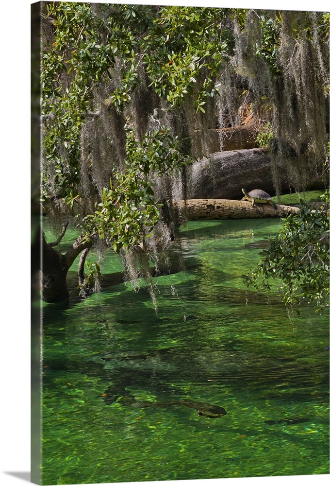 Large Gallery-Wrapped Canvas Wall Art Print 16 x 24 entitled A mother and calf manatee enter a protected area Gallery-Wrapped Canvas entitled A mother and calf manatee enter a protected area.  A mother and calf manatee enter a protected area.  Multiple sizes available.  Primary colors within this image include Forest Green Black Gray Dark Forest Green.  Made in the USA.  All products come with a 365 day workmanship guarantee.  Inks used are latex-based and designed to last.  Museum-quality artist-grade canvas mounted on sturdy wooden stretcher bars 1.5 thick.  Comes ready to hang.  Canvases have a UVB protection built in to protect against fading and moisture and are designed to last for over 100 years.