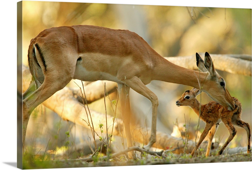 Large Gallery-Wrapped Canvas Wall Art Print 24 x 16 entitled A mother antelope grooming her baby, Okavango Delta, Botswana Gallery-Wrapped Canvas entitled A mother antelope grooming her baby Okavango Delta Botswana.  Multiple sizes available.  Primary colors within this image include Brown Peach.  Made in USA.  Satisfaction guaranteed.  Archival-quality UV-resistant inks.  Canvases are stretched across a 1.5 inch thick wooden frame with easy-to-mount hanging hardware.  Canvases have a UVB protection built in to protect against fading and moisture and are designed to last for over 100 years.