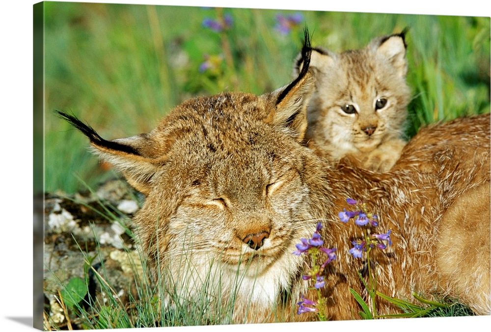 Large Gallery-Wrapped Canvas Wall Art Print 24 x 16 entitled A mother Canadian lynx rests as her young looks around, Montana Gallery-Wrapped Canvas entitled A mother Canadian lynx rests as her young looks around Montana.  Multiple sizes available.  Primary colors within this image include Brown Dark Yellow Black Silver.  Made in USA.  All products come with a 365 day workmanship guarantee.  Archival-quality UV-resistant inks.  Canvas is designed to prevent fading.  Museum-quality artist-grade canvas mounted on sturdy wooden stretcher bars 1.5 thick.  Comes ready to hang.
