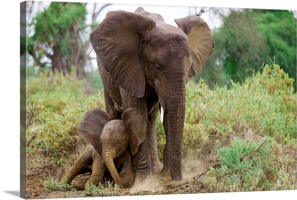 Large Gallery-Wrapped Canvas Wall Art Print 24 x 16 entitled A mother elephant shelters her baby, Samburu National Reserve... Gallery-Wrapped Canvas entitled A mother elephant shelters her baby Samburu National Reserve Kenya.  From the National Geographic Collection.  Photograph of adult tusked animal with its calf in the jungles of Africa.  Multiple sizes available.  Primary colors within this image include Light Green White Dark Forest Green.  Made in the USA.  All products come with a 365 day workmanship guarantee.  Inks used are latex-based and designed to last.  Canvases are stretched across a 1.5 inch thick wooden frame with easy-to-mount hanging hardware.  Canvas frames are built with farmed or reclaimed domestic pine or poplar wood.