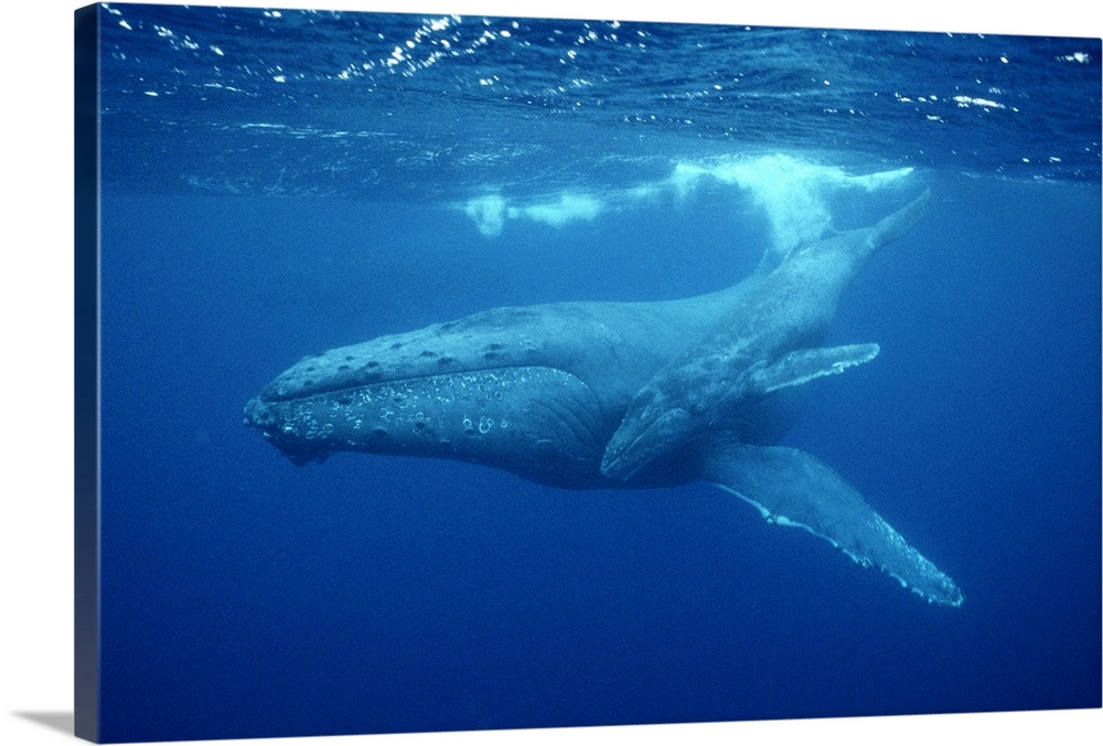 Large Gallery-Wrapped Canvas Wall Art Print 24 x 16 entitled A mother humpback whale and her baby Gallery-Wrapped Canvas entitled A mother humpback whale and her baby.  A mother humpback whale and her baby are submerged in the crystal blue waters of the Pacific off Maui Island.  Multiple sizes available.  Primary colors within this image include Dark Blue Black Teal Gray Blue.  Made in the USA.  All products come with a 365 day workmanship guarantee.  Inks used are latex-based and designed to last.  Canvas is designed to prevent fading.  Canvas is acid-free and 20 millimeters thick.