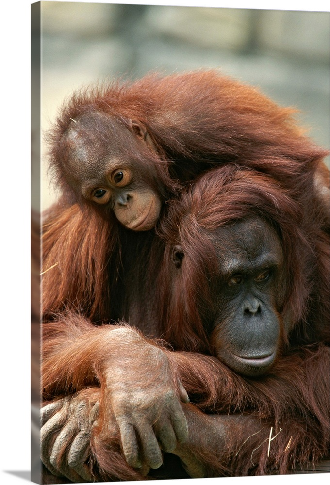 Large Gallery-Wrapped Canvas Wall Art Print 16 x 24 entitled A mother orangutan with her young Gallery-Wrapped Canvas entitled A mother orangutan with her young.  Multiple sizes available.  Primary colors within this image include White Dark Forest Green.  Made in the USA.  All products come with a 365 day workmanship guarantee.  Archival-quality UV-resistant inks.  Canvas is designed to prevent fading.  Canvas is a 65 polyester 35 cotton base with two acrylic latex primer basecoats and a semi-gloss inkjet receptive topcoat.