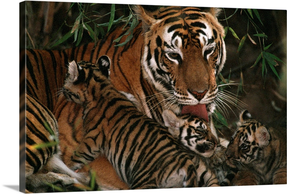 Large Gallery-Wrapped Canvas Wall Art Print 24 x 16 entitled A mother tiger bathes her cubs, Bandhavgarh National Park, Ma... Gallery-Wrapped Canvas entitled A mother tiger bathes her cubs Bandhavgarh National Park Madhya Pradesh State India.  National Geographic image of a tigress licking one of her three babies in her den in the Indian jungle.  Multiple sizes available.  Primary colors within this image include Peach Dark Gray.  Made in the USA.  Satisfaction guaranteed.  Archival-quality UV-resistant inks.  Canvas is designed to prevent fading.  Canvas is acid-free and 20 millimeters thick.