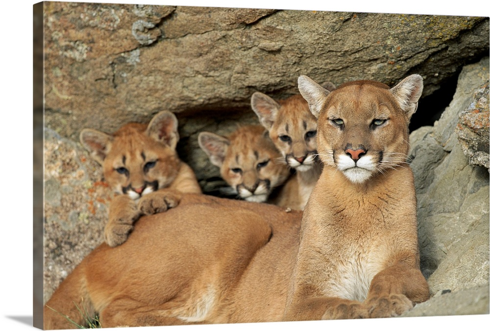 Large Gallery-Wrapped Canvas Wall Art Print 24 x 16 entitled A mountain lion mother with her young sits at a cave, Montana Gallery-Wrapped Canvas entitled A mountain lion mother with her young sits at a cave Montana.  Horizontal photograph from the National Geographic Collection of a female mountain lion lying amongst a rocky terrain her three lion cubs sit behind her in Montana.  Multiple sizes available.  Primary colors within this image include Black Gray Silver.  Made in the USA.  All products come with a 365 day workmanship guarantee.  Archival-quality UV-resistant inks.  Canvas is a 65 polyester 35 cotton base with two acrylic latex primer basecoats and a semi-gloss inkjet receptive topcoat.  Canvas is acid-free and 20 millimeters thick.