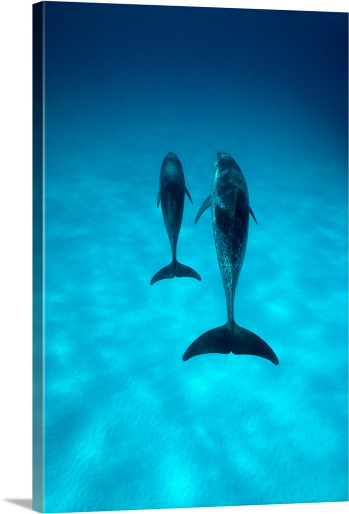Large Gallery-Wrapped Canvas Wall Art Print 16 x 24 entitled A pair of spotted dolphins sail past the camera off the coast... Gallery-Wrapped Canvas entitled A pair of spotted dolphins sail past the camera off the coast of Grand Turk Island Bahama Islands.  Two dolphins are pictured as they swim next to each other through clear ocean water.  Multiple sizes available.  Primary colors within this image include Muted Blue Teal.  Made in the USA.  Satisfaction guaranteed.  Inks used are latex-based and designed to last.  Canvas is designed to prevent fading.  Canvases are stretched across a 1.5 inch thick wooden frame with easy-to-mount hanging hardware.