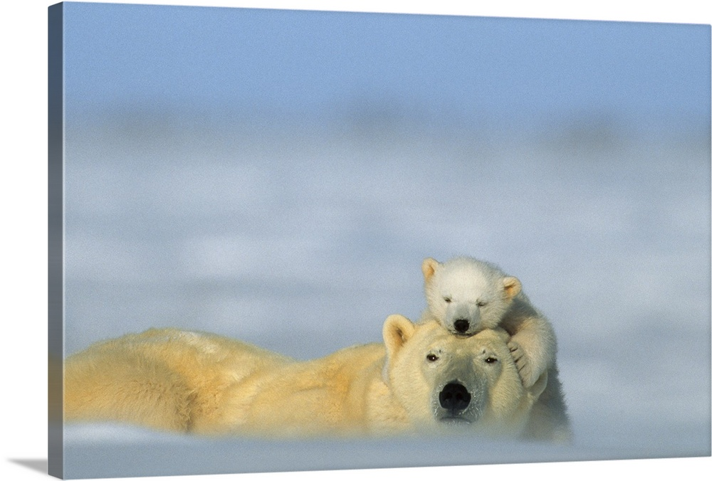 Large Gallery-Wrapped Canvas Wall Art Print 24 x 16 entitled A polar bear cub finds a peaceful sleeping spot on its mother... Gallery-Wrapped Canvas entitled A polar bear cub finds a peaceful sleeping spot on its mothers head Wapusk National Park Manitoba Canada.  From the National Geographic Collection a large photograph displays two arctic mammals with thick fur laying on a snow covered landscape.  The young offspring in the picture can be seen gently nuzzling against its parent.  .  Multiple sizes available.  Primary colors within this image include Sky Blue Light Gray Dark Forest Green.  Made in USA.  Satisfaction guaranteed.  Inks used are latex-based and designed to last.  Canvas frames are built with farmed or reclaimed domestic pine or poplar wood.  Canvases are stretched across a 1.5 inch thick wooden frame with easy-to-mount hanging hardware.