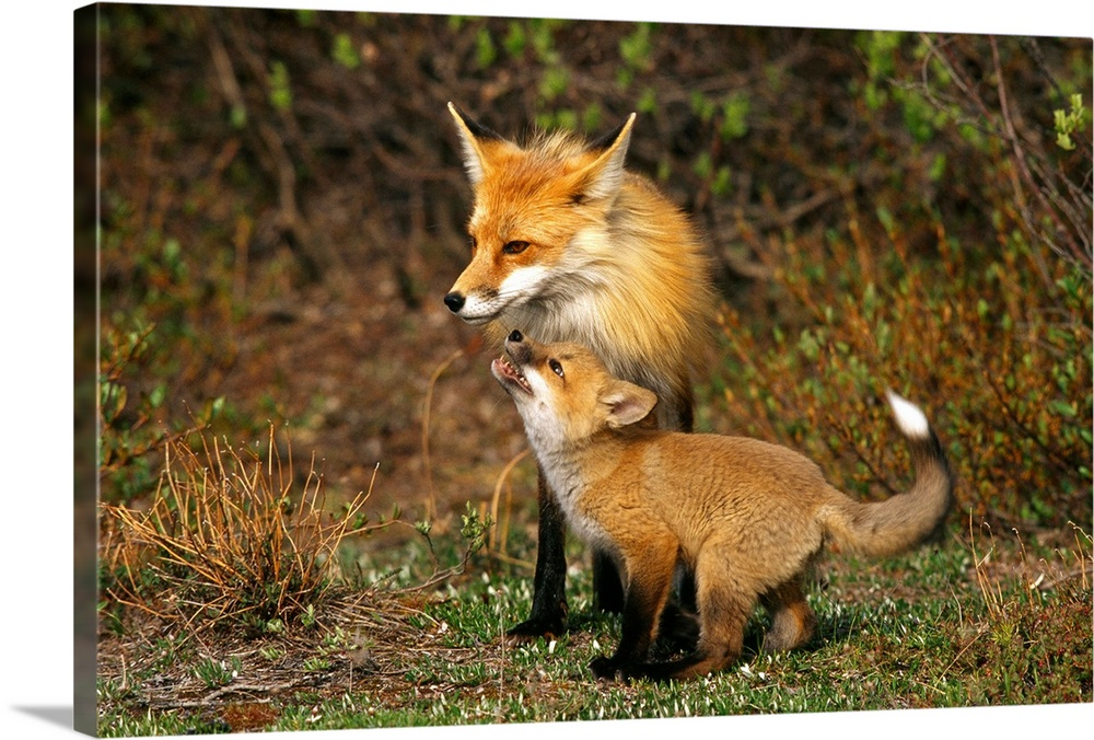 Large Gallery-Wrapped Canvas Wall Art Print 24 x 16 entitled A red fox mother and her pup, Wapusk National Park, Manitoba,... Gallery-Wrapped Canvas entitled A red fox mother and her pup Wapusk National Park Manitoba Canada.  Multiple sizes available.  Primary colors within this image include Brown Silver Dark Forest Green.  Made in USA.  All products come with a 365 day workmanship guarantee.  Inks used are latex-based and designed to last.  Canvas is designed to prevent fading.  Canvases are stretched across a 1.5 inch thick wooden frame with easy-to-mount hanging hardware.
