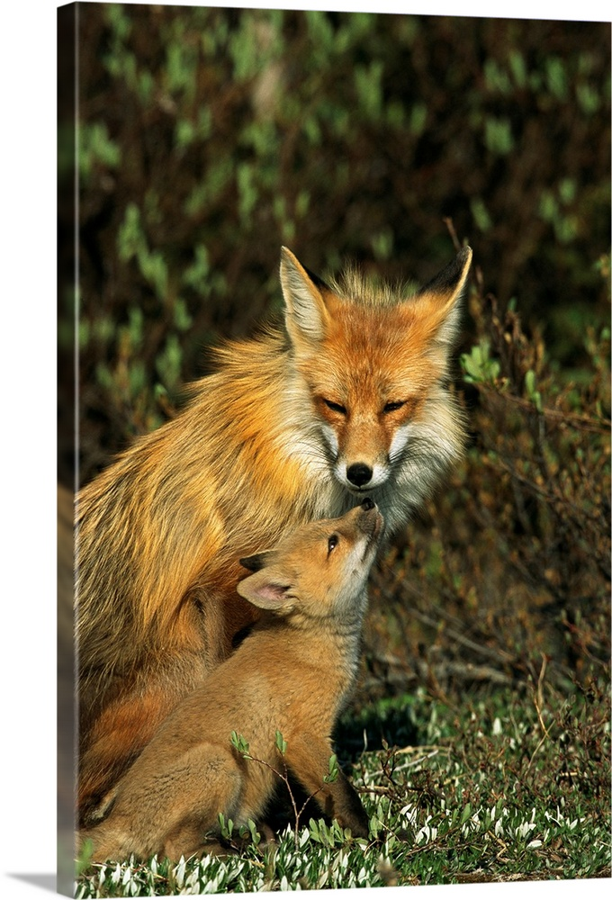 Large Gallery-Wrapped Canvas Wall Art Print 16 x 24 entitled A red fox mother and her pup, Wapusk National Park, Manitoba,... Gallery-Wrapped Canvas entitled A red fox mother and her pup Wapusk National Park Manitoba Canada.  Multiple sizes available.  Primary colors within this image include Peach Dark Forest Green.  Made in the USA.  All products come with a 365 day workmanship guarantee.  Inks used are latex-based and designed to last.  Canvas is designed to prevent fading.  Museum-quality artist-grade canvas mounted on sturdy wooden stretcher bars 1.5 thick.  Comes ready to hang.