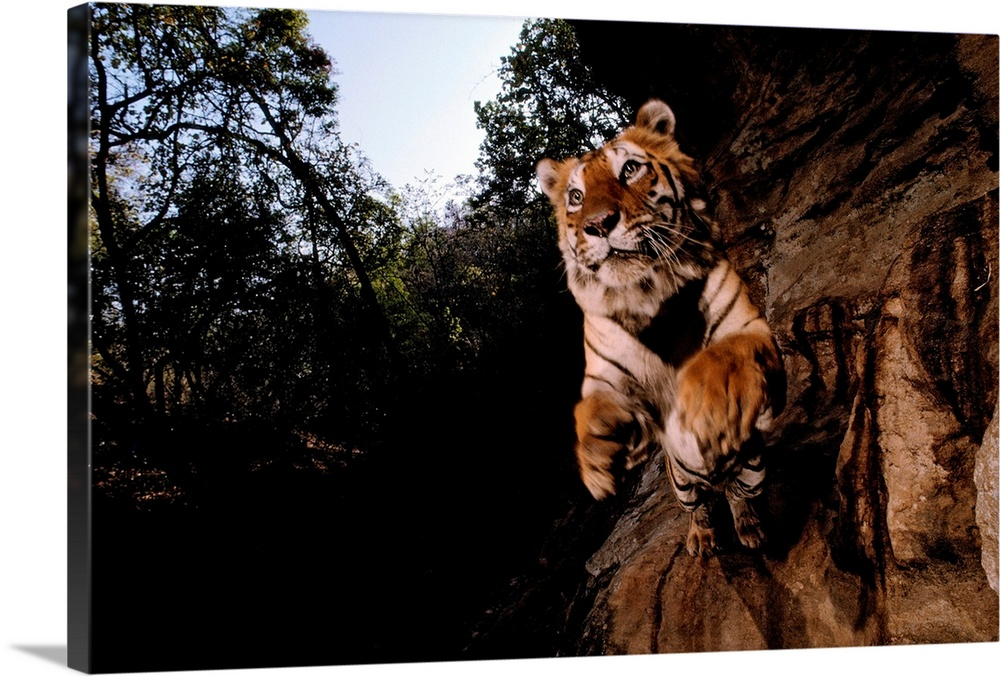 Large Gallery-Wrapped Canvas Wall Art Print 24 x 16 entitled A remote camera captures a leaping tiger Gallery-Wrapped Canvas entitled A remote camera captures a leaping tiger.  Bandhavgarh National Park Madhya Pradesh State India.  Multiple sizes available.  Primary colors within this image include Black Gray Pale Blue Dark Navy Blue.  Made in USA.  Satisfaction guaranteed.  Inks used are latex-based and designed to last.  Canvas frames are built with farmed or reclaimed domestic pine or poplar wood.  Canvases are stretched across a 1.5 inch thick wooden frame with easy-to-mount hanging hardware.