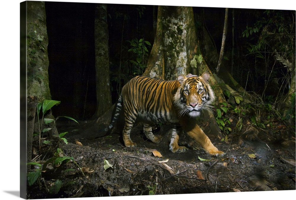 Large Gallery-Wrapped Canvas Wall Art Print 24 x 16 entitled A remote camera captures a Sumatran tiger while hunting Gallery-Wrapped Canvas entitled A remote camera captures a Sumatran tiger while hunting.  A remote camera captures a Sumatran tiger while hunting.  Multiple sizes available.  Primary colors within this image include Black Light Gray Dark Forest Green.  Made in USA.  Satisfaction guaranteed.  Inks used are latex-based and designed to last.  Canvas frames are built with farmed or reclaimed domestic pine or poplar wood.  Canvas is a 65 polyester 35 cotton base with two acrylic latex primer basecoats and a semi-gloss inkjet receptive topcoat.