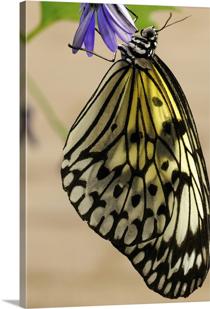 Large Gallery-Wrapped Canvas Wall Art Print 16 x 24 entitled A rice paper butterfly, Idea leuconoe, resting on a flower Gallery-Wrapped Canvas entitled A rice paper butterfly Idea leuconoe resting on a flower.  A rice paper butterfly Idea leuconoe resting on a flower.  Multiple sizes available.  Primary colors within this image include Blue Dark Yellow Peach Black.  Made in USA.  Satisfaction guaranteed.  Archival-quality UV-resistant inks.  Canvas is designed to prevent fading.  Canvas is acid-free and 20 millimeters thick.