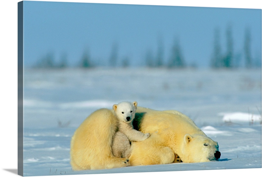 Large Gallery-Wrapped Canvas Wall Art Print 24 x 16 entitled A sleepy polar bear mother and her cub, Wapusk National Park,... Gallery-Wrapped Canvas entitled A sleepy polar bear mother and her cub Wapusk National Park Canada.  Multiple sizes available.  Primary colors within this image include Peach Dark Navy Blue Light Gray Blue.  Made in USA.  Satisfaction guaranteed.  Inks used are latex-based and designed to last.  Canvas frames are built with farmed or reclaimed domestic pine or poplar wood.  Canvas is a 65 polyester 35 cotton base with two acrylic latex primer basecoats and a semi-gloss inkjet receptive topcoat.