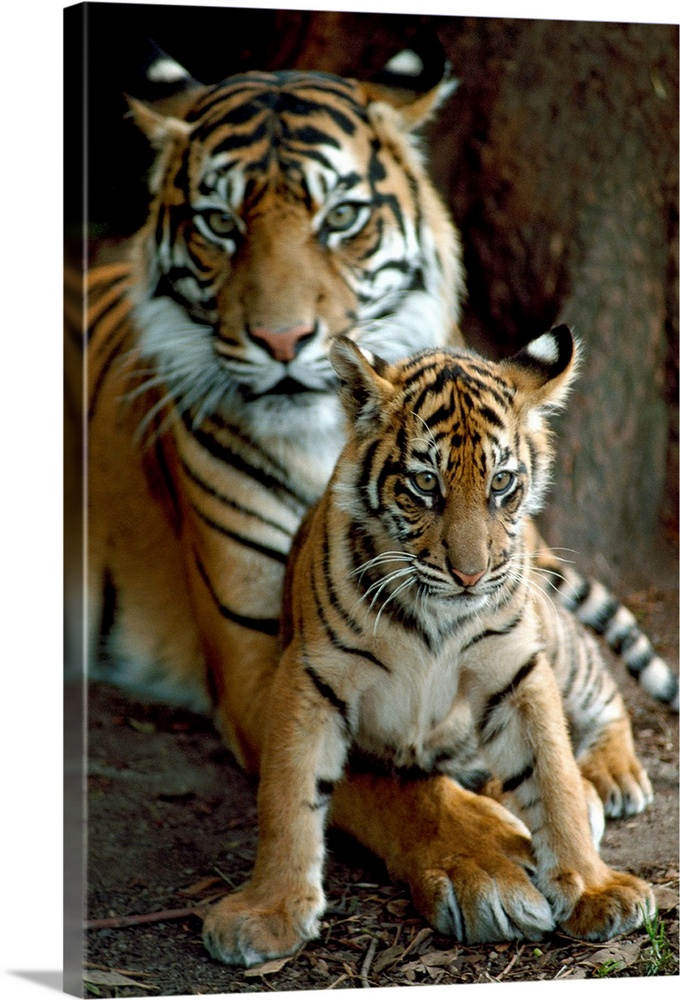 Large Gallery-Wrapped Canvas Wall Art Print 16 x 24 entitled A Sumatran tiger cub rests on his mother's huge paw, Victoria... Gallery-Wrapped Canvas entitled A Sumatran tiger cub rests on his mothers huge paw Victoria Australia.  In this big vertical National Geograhpic photograph a young Sumatran tiger cub sits in front of his protective mother in Victoria Australia.  Multiple sizes available.  Primary colors within this image include Black Gray Silver.  Made in USA.  Satisfaction guaranteed.  Archival-quality UV-resistant inks.  Canvas is a 65 polyester 35 cotton base with two acrylic latex primer basecoats and a semi-gloss inkjet receptive topcoat.  Canvas is designed to prevent fading.
