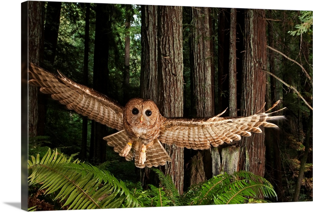 Large Gallery-Wrapped Canvas Wall Art Print 24 x 16 entitled A tagged northern spotted owl in a redwood forest Gallery-Wrapped Canvas entitled A tagged northern spotted owl in a redwood forest.  From the National Geographic Collection this photograph captures a nocturnal bird of prey swooping through the woods.  Multiple sizes available.  Primary colors within this image include Forest Green Peach Dark Forest Green.  Made in USA.  All products come with a 365 day workmanship guarantee.  Inks used are latex-based and designed to last.  Canvas is a 65 polyester 35 cotton base with two acrylic latex primer basecoats and a semi-gloss inkjet receptive topcoat.  Museum-quality artist-grade canvas mounted on sturdy wooden stretcher bars 1.5 thick.  Comes ready to hang.