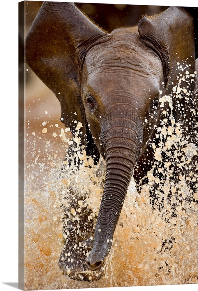 Large Gallery-Wrapped Canvas Wall Art Print 16 x 24 entitled A young elephant splashing through water, Samburu National Re... Gallery-Wrapped Canvas entitled A young elephant splashing through water Samburu National Reserve Kenya.  Vertical photograph from the National Geographic Collection of a baby elephant running toward the camera as he splashes through water at the Samburu National Reserve in Kenya.  Multiple sizes available.  Primary colors within this image include Black Gray White.  Made in the USA.  All products come with a 365 day workmanship guarantee.  Archival-quality UV-resistant inks.  Museum-quality artist-grade canvas mounted on sturdy wooden stretcher bars 1.5 thick.  Comes ready to hang.  Canvas frames are built with farmed or reclaimed domestic pine or poplar wood.