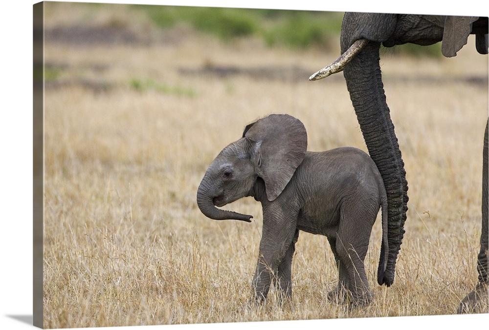 Large Gallery-Wrapped Canvas Wall Art Print 24 x 16 entitled African Elephant mother and calf, Masai Mara, Kenya Gallery-Wrapped Canvas entitled African Elephant mother and calf Masai Mara Kenya.  African Elephant mother and less than 3 weeks old calf Masai Mara Kenya. Mom encourages the baby with her trunk.  Multiple sizes available.  Primary colors within this image include Silver Dark Forest Green.  Made in USA.  All products come with a 365 day workmanship guarantee.  Inks used are latex-based and designed to last.  Canvases have a UVB protection built in to protect against fading and moisture and are designed to last for over 100 years.  Museum-quality artist-grade canvas mounted on sturdy wooden stretcher bars 1.5 thick.  Comes ready to hang.