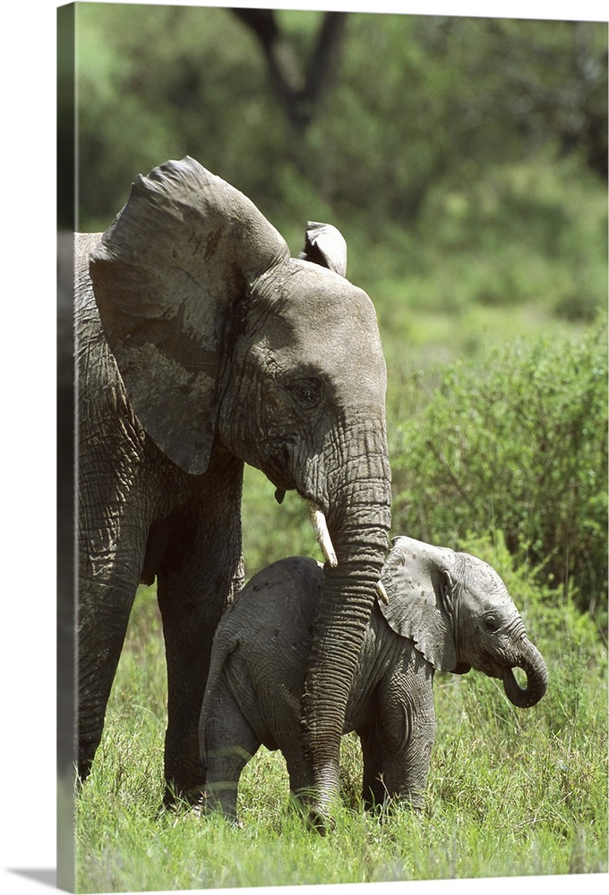 Large Gallery-Wrapped Canvas Wall Art Print 16 x 24 entitled African Elephant mother and calf, Ngorongoro Conservation Are... Gallery-Wrapped Canvas entitled African Elephant mother and calf Ngorongoro Conservation Area Tanzania Africa.  African Elephant mother keeping young calf nearby vulnerable Ngorongoro Conservation Area Tanzania east Africa.  Multiple sizes available.  Primary colors within this image include Light Green Dark Gray.  Made in the USA.  All products come with a 365 day workmanship guarantee.  Inks used are latex-based and designed to last.  Canvases are stretched across a 1.5 inch thick wooden frame with easy-to-mount hanging hardware.  Canvas is acid-free and 20 millimeters thick.