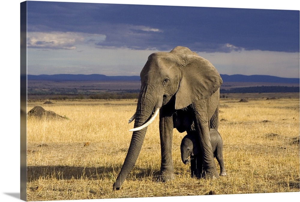 Large Gallery-Wrapped Canvas Wall Art Print 24 x 16 entitled African Elephant mother protecting calf, Masai Mara, Kenya Gallery-Wrapped Canvas entitled African Elephant mother protecting calf Masai Mara Kenya.  Multiple sizes available.  Primary colors within this image include Peach Black Muted Blue Dark Forest Green.  Made in the USA.  Satisfaction guaranteed.  Inks used are latex-based and designed to last.  Canvas frames are built with farmed or reclaimed domestic pine or poplar wood.  Canvas is acid-free and 20 millimeters thick.
