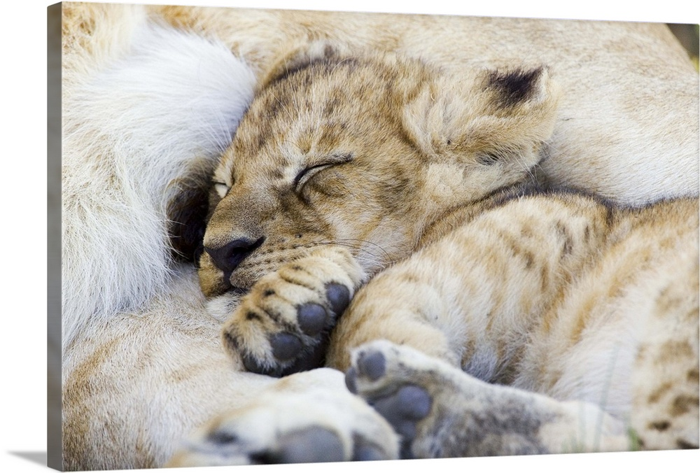 Large Gallery-Wrapped Canvas Wall Art Print 24 x 16 entitled African Lion cub sleeping against mother, Masai Mara National... Gallery-Wrapped Canvas entitled African Lion cub sleeping against mother Masai Mara National Reserve Kenya.  African Lion six to seven week old cub sleeping against mother vulnerable Masai Mara National Reserve Kenya.  Multiple sizes available.  Primary colors within this image include Dark Gray Silver.  Made in the USA.  Satisfaction guaranteed.  Inks used are latex-based and designed to last.  Canvas frames are built with farmed or reclaimed domestic pine or poplar wood.  Canvas is a 65 polyester 35 cotton base with two acrylic latex primer basecoats and a semi-gloss inkjet receptive topcoat.