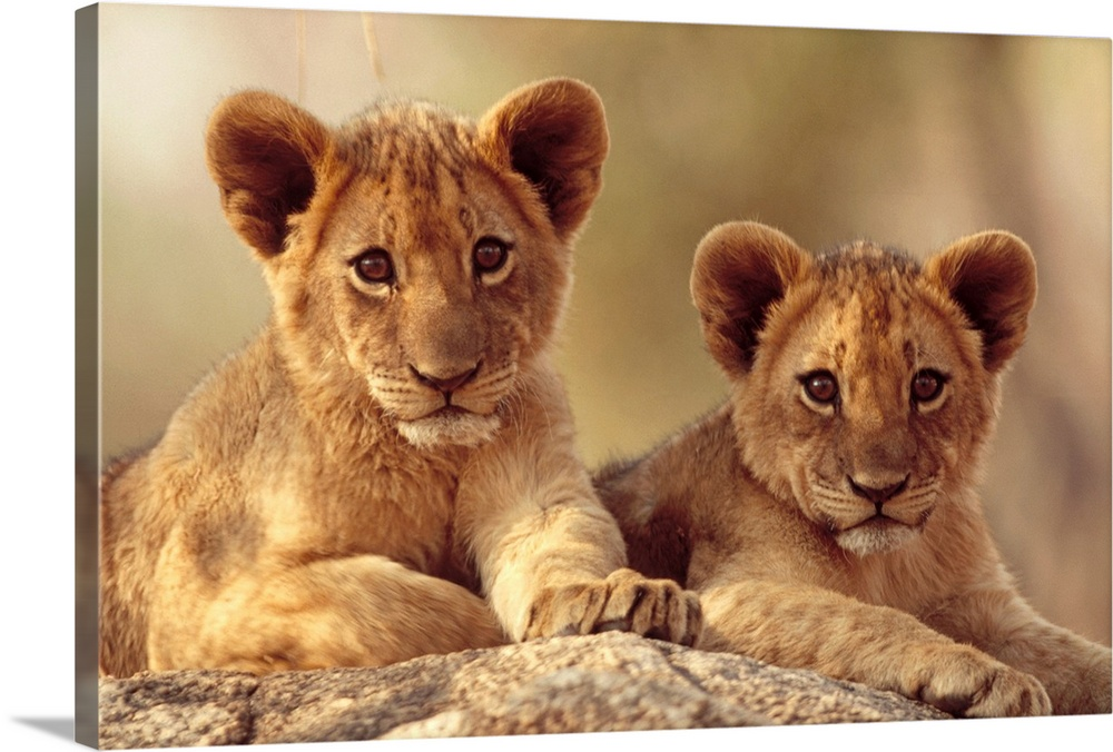 Large Gallery-Wrapped Canvas Wall Art Print 24 x 16 entitled African Lion cubs resting on a rock, Hwange National Park, Zi... Gallery-Wrapped Canvas entitled African Lion cubs resting on a rock Hwange National Park Zimbabwe Africa.  Two lion cubs lay on a rock and stare straight ahead into the camera.  Multiple sizes available.  Primary colors within this image include Peach Black Gray.  Made in the USA.  All products come with a 365 day workmanship guarantee.  Inks used are latex-based and designed to last.  Canvases have a UVB protection built in to protect against fading and moisture and are designed to last for over 100 years.  Canvas is designed to prevent fading.