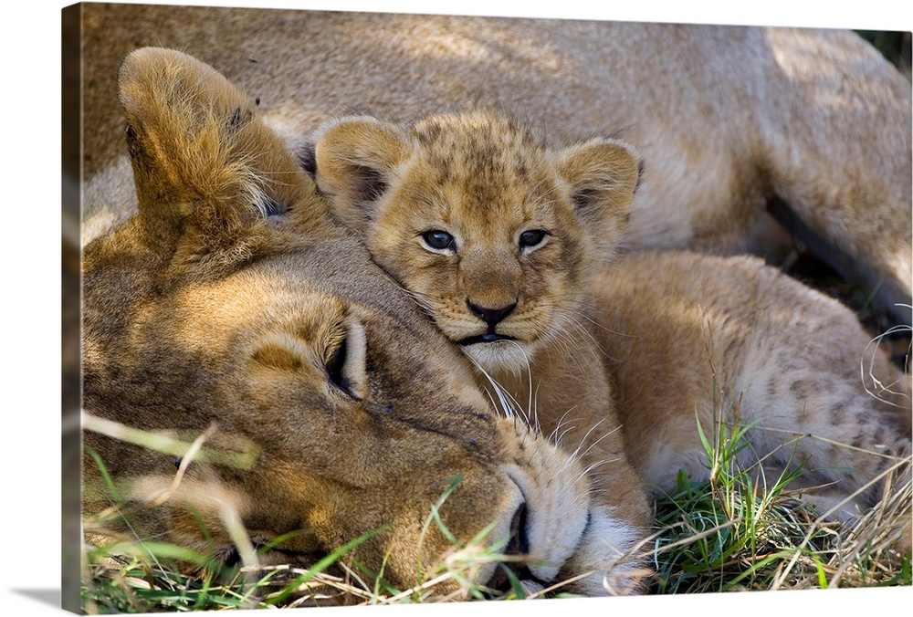 Large Gallery-Wrapped Canvas Wall Art Print 24 x 16 entitled African Lion mother resting with four week old cub, Masai Mar... Gallery-Wrapped Canvas entitled African Lion mother resting with four week old cub Masai Mara National Reserve Kenya.  A baby lion cuddles with its napping mother in the Africa savannah shade in this adorable nature photograph.  Multiple sizes available.  Primary colors within this image include Brown Dark Gray Light Gray.  Made in the USA.  Satisfaction guaranteed.  Inks used are latex-based and designed to last.  Canvas frames are built with farmed or reclaimed domestic pine or poplar wood.  Canvas is a 65 polyester 35 cotton base with two acrylic latex primer basecoats and a semi-gloss inkjet receptive topcoat.
