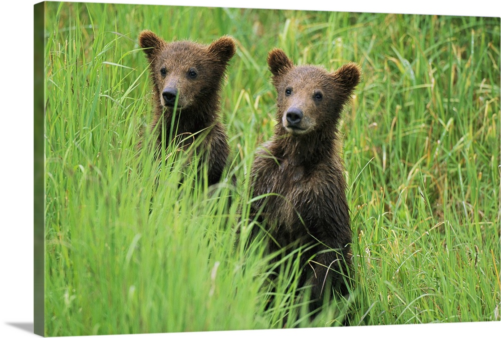 Large Gallery-Wrapped Canvas Wall Art Print 24 x 16 entitled Alaskan brown bear cubs wait in tall grass for their mother Gallery-Wrapped Canvas entitled Alaskan brown bear cubs wait in tall grass for their mother.  Alaskan brown bear cubs wait in tall grass for their mother.  Multiple sizes available.  Primary colors within this image include Dark Gray Light Gray Lime Green.  Made in the USA.  All products come with a 365 day workmanship guarantee.  Inks used are latex-based and designed to last.  Museum-quality artist-grade canvas mounted on sturdy wooden stretcher bars 1.5 thick.  Comes ready to hang.  Canvas is designed to prevent fading.