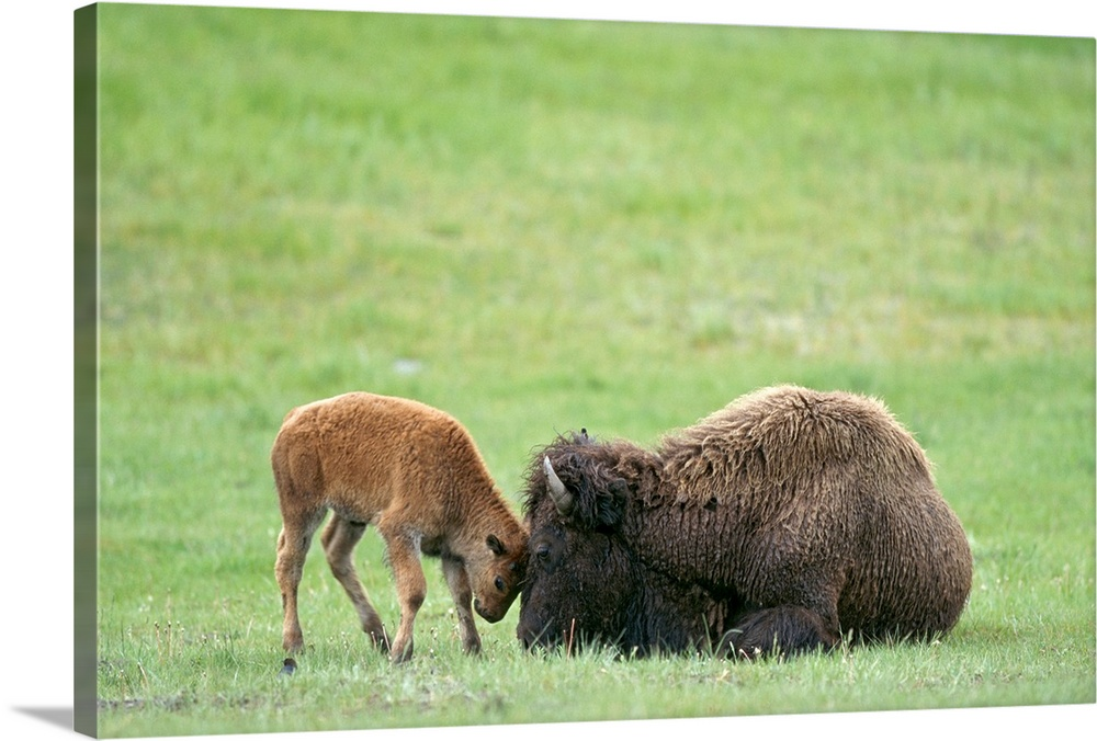 Large Gallery-Wrapped Canvas Wall Art Print 24 x 16 entitled American bison calf playfully butts heads with mother, Yellow... Gallery-Wrapped Canvas entitled American bison calf playfully butts heads with mother Yellowstone National Park Wyoming.  Multiple sizes available.  Primary colors within this image include Light Green Dark Gray.  Made in USA.  Satisfaction guaranteed.  Inks used are latex-based and designed to last.  Canvas frames are built with farmed or reclaimed domestic pine or poplar wood.  Canvases are stretched across a 1.5 inch thick wooden frame with easy-to-mount hanging hardware.