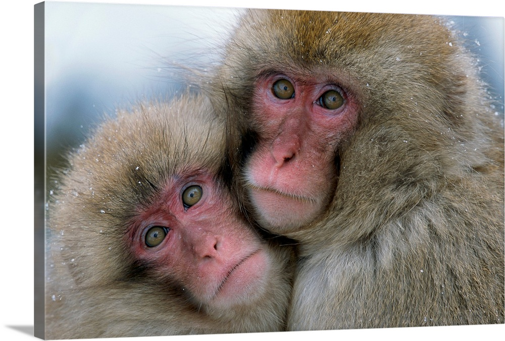 Large Gallery-Wrapped Canvas Wall Art Print 24 x 16 entitled An adult and juvenile Japanese macaque huddled together, Hons... Gallery-Wrapped Canvas entitled An adult and juvenile Japanese macaque huddled together Honshu Island Japan.  Wall art from the National Geographic Collection of two Japanese monkeys cuddled together looking towards the camera.  Multiple sizes available.  Primary colors within this image include Black Gray White.  Made in USA.  Satisfaction guaranteed.  Archival-quality UV-resistant inks.  Canvases have a UVB protection built in to protect against fading and moisture and are designed to last for over 100 years.  Canvas frames are built with farmed or reclaimed domestic pine or poplar wood.