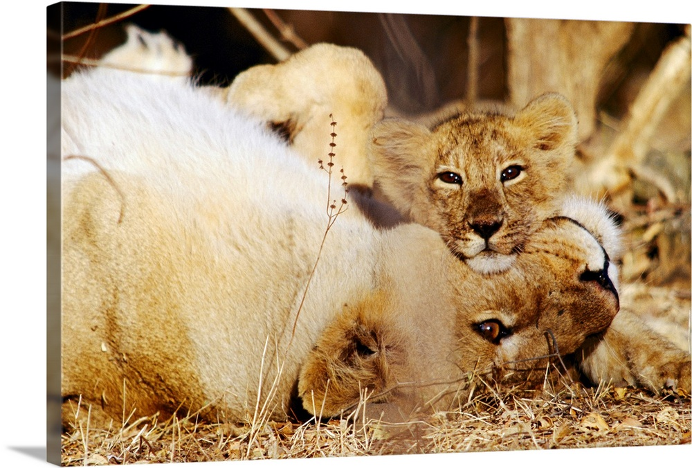 Large Gallery-Wrapped Canvas Wall Art Print 24 x 16 entitled Asian lions (Panthera leo persica), mother and cub, Gir Fores... Gallery-Wrapped Canvas entitled Asian lions Panthera leo persica mother and cub Gir Forest Gujarat State India.  From the National Geographic Collection a mother lion lays on her back while her cub rests itos chin on hers and looks directly at the camera in this wildlife photograph.  Multiple sizes available.  Primary colors within this image include Brown Peach Black.  Made in USA.  All products come with a 365 day workmanship guarantee.  Inks used are latex-based and designed to last.  Canvases are stretched across a 1.5 inch thick wooden frame with easy-to-mount hanging hardware.  Canvases have a UVB protection built in to protect against fading and moisture and are designed to last for over 100 years.