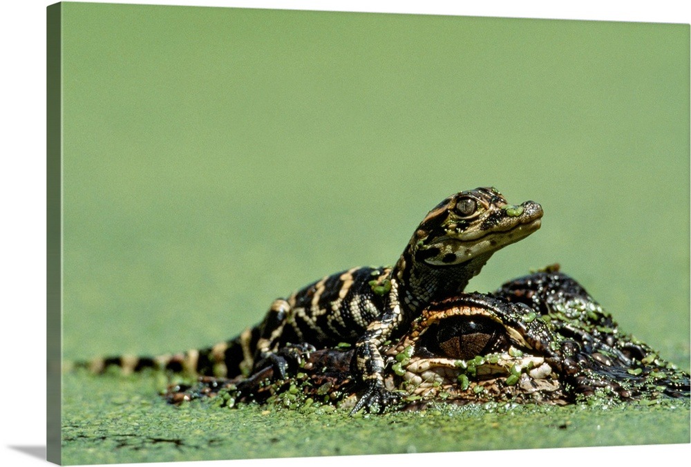 Large Gallery-Wrapped Canvas Wall Art Print 24 x 16 entitled Baby alligator on mother's head among duckweed, Everglades, F... Gallery-Wrapped Canvas entitled Baby alligator on mothers head among duckweed Everglades Florida.  Multiple sizes available.  Primary colors within this image include Light Green Black White.  Made in USA.  All products come with a 365 day workmanship guarantee.  Inks used are latex-based and designed to last.  Canvas frames are built with farmed or reclaimed domestic pine or poplar wood.  Canvases are stretched across a 1.5 inch thick wooden frame with easy-to-mount hanging hardware.