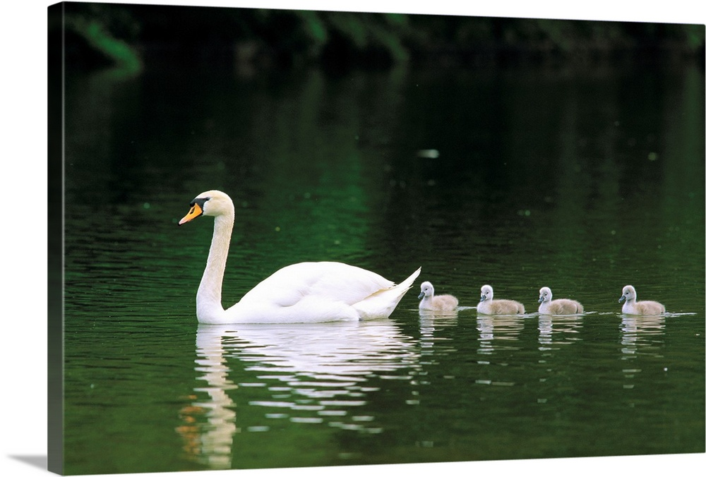 Large Gallery-Wrapped Canvas Wall Art Print 24 x 16 entitled Baby swans swim behind their mother Gallery-Wrapped Canvas entitled Baby swans swim behind their mother.  Multiple sizes available.  Primary colors within this image include White Dark Forest Green.  Made in the USA.  Satisfaction guaranteed.  Inks used are latex-based and designed to last.  Canvases are stretched across a 1.5 inch thick wooden frame with easy-to-mount hanging hardware.  Canvas frames are built with farmed or reclaimed domestic pine or poplar wood.