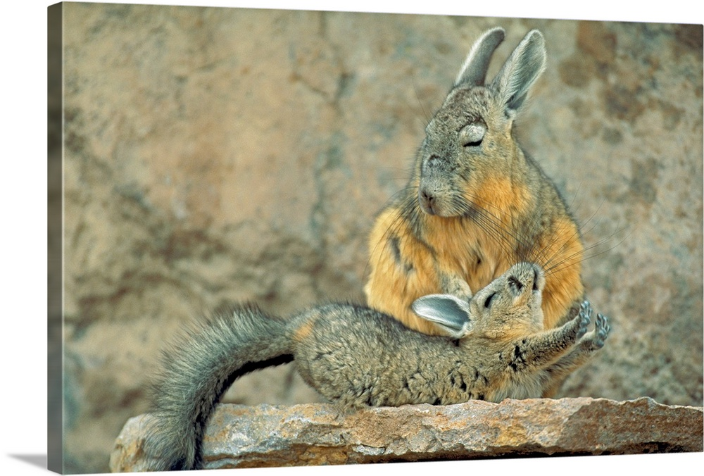 Large Gallery-Wrapped Canvas Wall Art Print 24 x 16 entitled Baby viscacha stretches in front of mother, Atacama Desert, C... Gallery-Wrapped Canvas entitled Baby viscacha stretches in front of mother Atacama Desert Chile.  A small viscacha extends itself in front of a larger viscacha as they both stand atop a stone ledge.  Multiple sizes available.  Primary colors within this image include Black Light Gray.  Made in USA.  Satisfaction guaranteed.  Archival-quality UV-resistant inks.  Canvas is acid-free and 20 millimeters thick.  Canvas is designed to prevent fading.