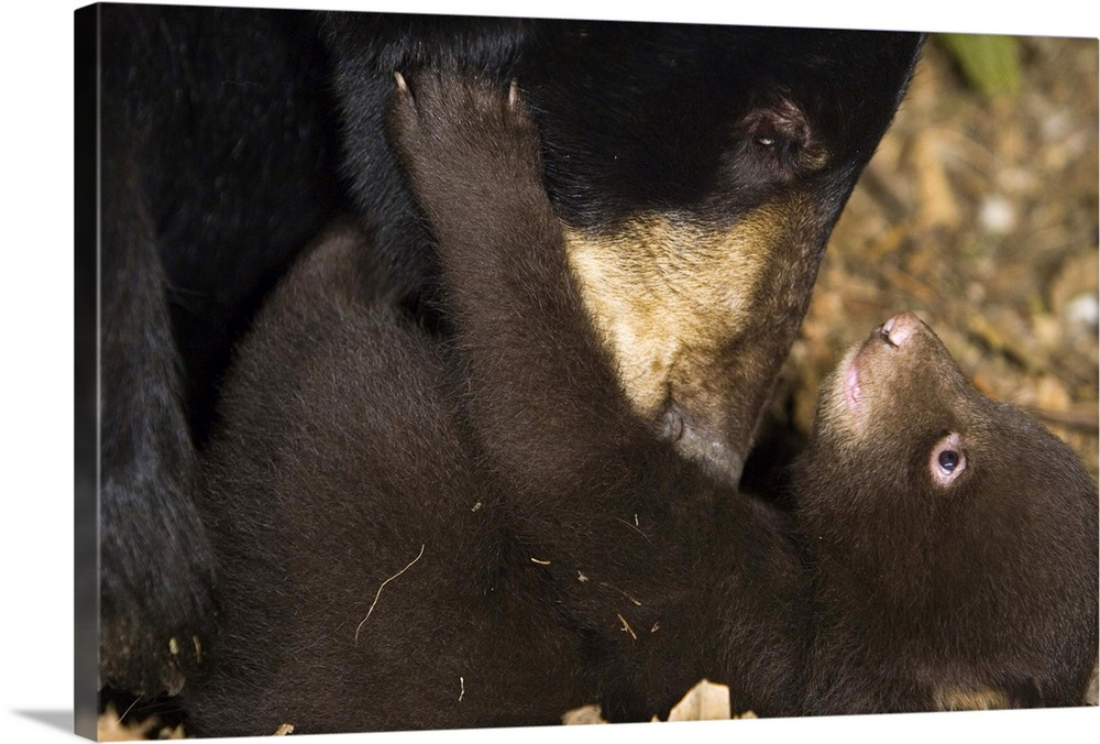 Large Gallery-Wrapped Canvas Wall Art Print 24 x 16 entitled Black Bear mother grooming 7 week old cub in den Gallery-Wrapped Canvas entitled Black Bear mother grooming 7 week old cub in den.  Multiple sizes available.  Primary colors within this image include Black Gray.  Made in the USA.  All products come with a 365 day workmanship guarantee.  Inks used are latex-based and designed to last.  Museum-quality artist-grade canvas mounted on sturdy wooden stretcher bars 1.5 thick.  Comes ready to hang.  Canvases are stretched across a 1.5 inch thick wooden frame with easy-to-mount hanging hardware.