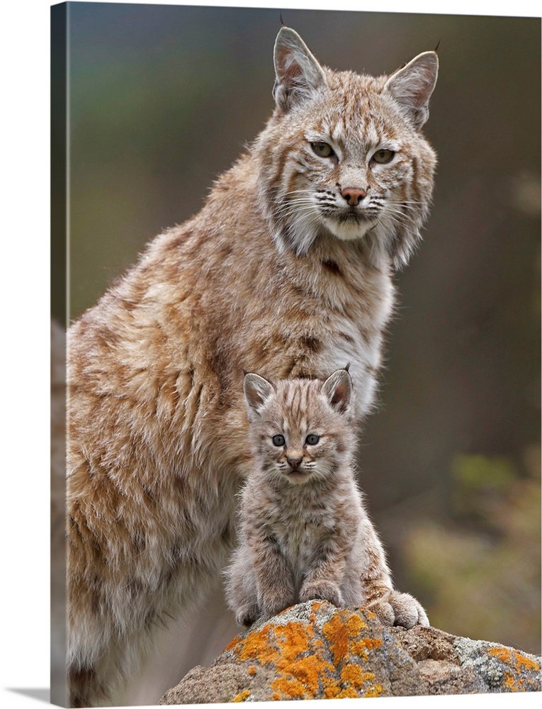 Large Gallery-Wrapped Canvas Wall Art Print 18 x 24 entitled Bobcat mother and kitten, North America Gallery-Wrapped Canvas entitled Bobcat mother and kitten North America.  Multiple sizes available.  Primary colors within this image include Brown Light Gray Dark Forest Green.  Made in USA.  All products come with a 365 day workmanship guarantee.  Inks used are latex-based and designed to last.  Museum-quality artist-grade canvas mounted on sturdy wooden stretcher bars 1.5 thick.  Comes ready to hang.  Canvases have a UVB protection built in to protect against fading and moisture and are designed to last for over 100 years.