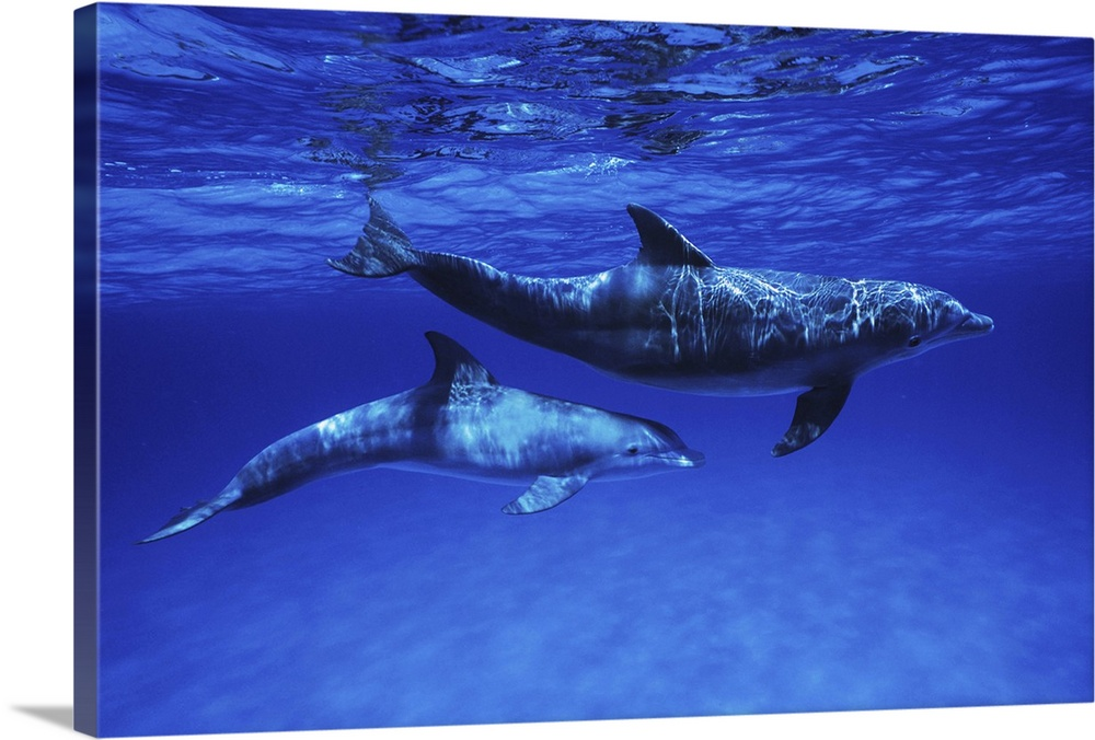 Large Gallery-Wrapped Canvas Wall Art Print 24 x 16 entitled Bottlenose Dolphin mother and calf, Gulf of Mexico, Belize Gallery-Wrapped Canvas entitled Bottlenose Dolphin mother and calf Gulf of Mexico Belize.  Multiple sizes available.  Primary colors within this image include Dark Blue Royal Blue Dark Navy Blue.  Made in USA.  All products come with a 365 day workmanship guarantee.  Inks used are latex-based and designed to last.  Canvas is designed to prevent fading.  Museum-quality artist-grade canvas mounted on sturdy wooden stretcher bars 1.5 thick.  Comes ready to hang.