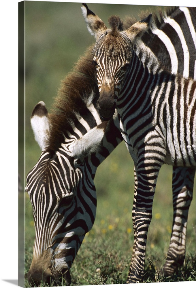 Large Gallery-Wrapped Canvas Wall Art Print 16 x 24 entitled Burchell's Zebra foal with mother, Ngorongoro Conservation Ar... Gallery-Wrapped Canvas entitled Burchells Zebra foal with mother Ngorongoro Conservation Area Tanzania.  Burchells Zebra one to two day old foal with mother Ngorongoro Conservation Area Tanzania.  Multiple sizes available.  Primary colors within this image include Black Gray Silver.  Made in USA.  Satisfaction guaranteed.  Inks used are latex-based and designed to last.  Canvases have a UVB protection built in to protect against fading and moisture and are designed to last for over 100 years.  Canvas frames are built with farmed or reclaimed domestic pine or poplar wood.