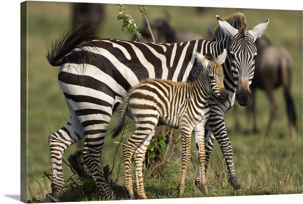 Large Gallery-Wrapped Canvas Wall Art Print 24 x 16 entitled Burchell's Zebra mother and foal, Masai Mara, Kenya Gallery-Wrapped Canvas entitled Burchells Zebra mother and foal Masai Mara Kenya.  Multiple sizes available.  Primary colors within this image include Dark Gray Gray Silver.  Made in USA.  All products come with a 365 day workmanship guarantee.  Archival-quality UV-resistant inks.  Canvas frames are built with farmed or reclaimed domestic pine or poplar wood.  Canvases are stretched across a 1.5 inch thick wooden frame with easy-to-mount hanging hardware.