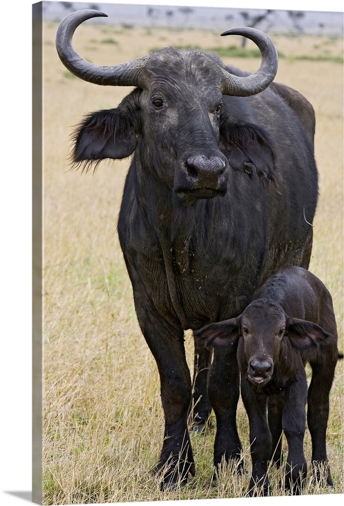 Large Gallery-Wrapped Canvas Wall Art Print 16 x 24 entitled Cape Buffalo mother and newborn calf, Masai Mara, Kenya Gallery-Wrapped Canvas entitled Cape Buffalo mother and newborn calf Masai Mara Kenya.  Cape Buffalo mother and 2 to 3 day old newborn calf Masai Mara Kenya.  Multiple sizes available.  Primary colors within this image include Black Silver.  Made in the USA.  Satisfaction guaranteed.  Inks used are latex-based and designed to last.  Museum-quality artist-grade canvas mounted on sturdy wooden stretcher bars 1.5 thick.  Comes ready to hang.  Canvas is designed to prevent fading.