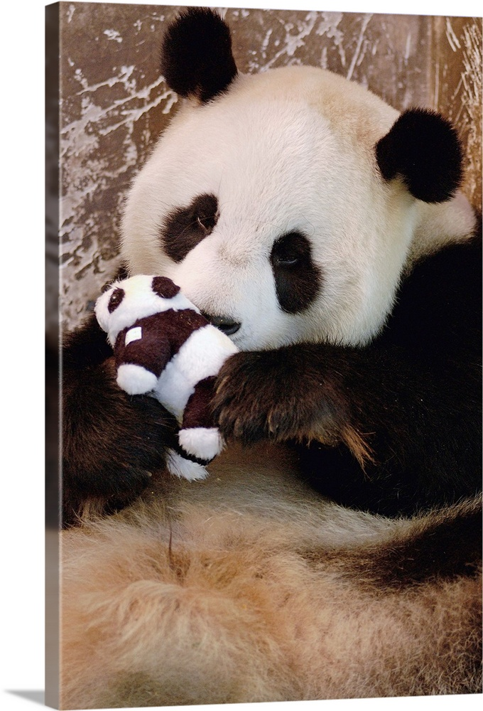 Large Solid-Faced Canvas Print Wall Art Print 20 x 30 entitled Captive-born Giant Panda learning parenting skills with toy... Solid-Faced Canvas Print entitled Captive-born Giant Panda learning parenting skills with toy baby.  Giant Panda named Gongzhu, captive born and raised, learning parenting skills with toy baby after rejecting her two cubs born in 2003. In 2004 she successfully raised a new cub, Wolong Nature Reserve, China.  Multiple sizes available.  Primary colors within this image include Black, Gray, Silver.  Made in USA.  All products come with a 365 day workmanship guarantee.  Archival-quality UV-resistant inks.  Canvas depth is 1.25 and includes a finished backing with pre-installed hanging hardware.  Featuring a proprietary design, our canvases produce the tightest corners without any bubbles, ripples, or bumps and will not warp or sag over time.