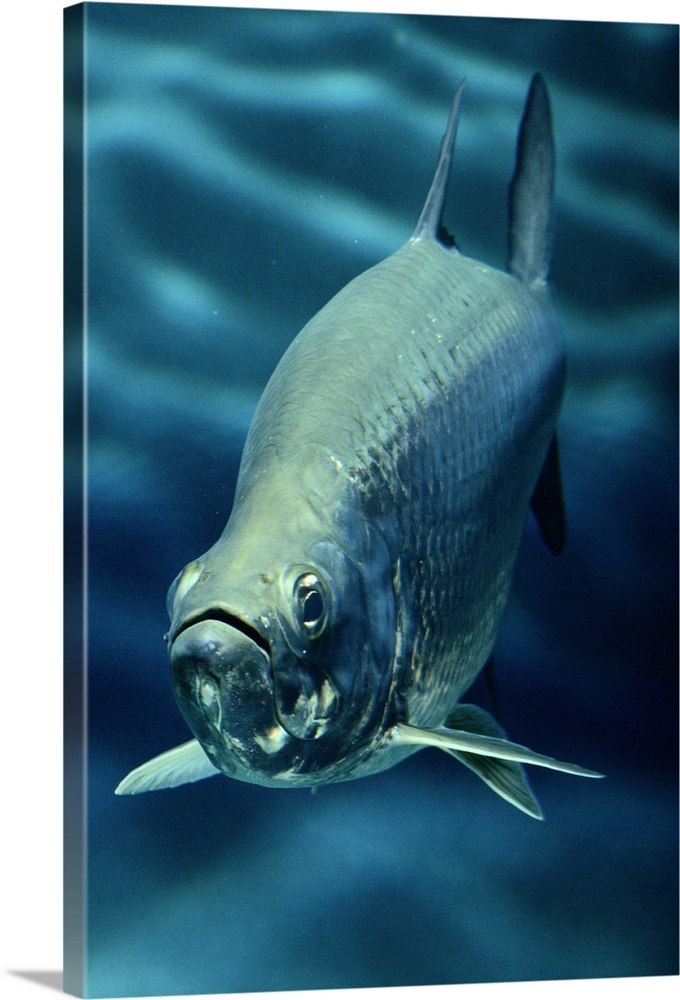 Large Gallery-Wrapped Canvas Wall Art Print 16 x 24 entitled Caribbean Sea Gallery-Wrapped Canvas entitled Caribbean Sea.  A tarpon Megalops atlanticus swims directly toward the camera.  Multiple sizes available.  Primary colors within this image include Dark Navy Blue Light Gray Blue.  Made in the USA.  Satisfaction guaranteed.  Inks used are latex-based and designed to last.  Canvases are stretched across a 1.5 inch thick wooden frame with easy-to-mount hanging hardware.  Canvas is designed to prevent fading.