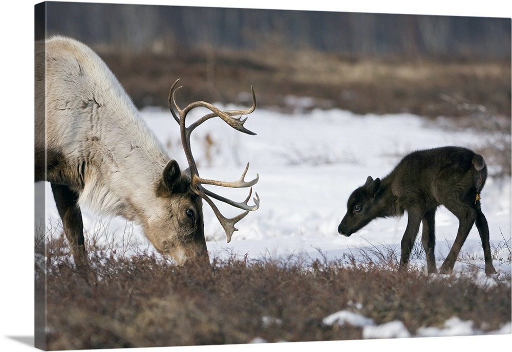 Large Gallery-Wrapped Canvas Wall Art Print 24 x 16 entitled Caribou mother and calf, Kamchatka, Russia Gallery-Wrapped Canvas entitled Caribou mother and calf Kamchatka Russia.  Multiple sizes available.  Primary colors within this image include Silver Dark Forest Green.  Made in the USA.  All products come with a 365 day workmanship guarantee.  Archival-quality UV-resistant inks.  Canvas is a 65 polyester 35 cotton base with two acrylic latex primer basecoats and a semi-gloss inkjet receptive topcoat.  Canvas is designed to prevent fading.