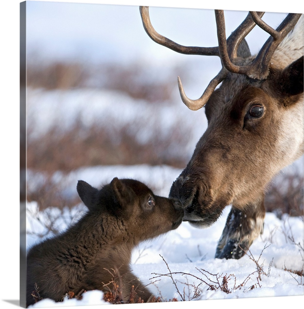 Large Gallery-Wrapped Canvas Wall Art Print 16 x 16 entitled Caribou mother and calf nuzzling, Kamchatka, Russia Gallery-Wrapped Canvas entitled Caribou mother and calf nuzzling Kamchatka Russia.  Multiple sizes available.  Primary colors within this image include Dark Gray Silver.  Made in the USA.  Satisfaction guaranteed.  Inks used are latex-based and designed to last.  Canvases are stretched across a 1.5 inch thick wooden frame with easy-to-mount hanging hardware.  Canvas is designed to prevent fading.