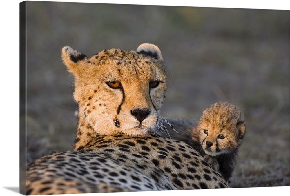 Large Gallery-Wrapped Canvas Wall Art Print 24 x 16 entitled Cheetah cub climbing on mother at sunrise, Maasai Mara Reserv... Gallery-Wrapped Canvas entitled Cheetah cub climbing on mother at sunrise Maasai Mara Reserve Kenya.  Cheetah eight day old cub climbing on mother at sunrise Maasai Mara Reserve Kenya.  Multiple sizes available.  Primary colors within this image include Peach Black Gray.  Made in the USA.  Satisfaction guaranteed.  Archival-quality UV-resistant inks.  Canvas is designed to prevent fading.  Museum-quality artist-grade canvas mounted on sturdy wooden stretcher bars 1.5 thick.  Comes ready to hang.